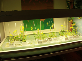 Specialized table with grow lamp containing Brassica Fast Plants with flowers about 18-20 inches tall.
