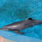 Image of a bottlenose dolphin