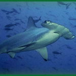Image of a hammerhead shark
