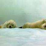 Image of harp seals