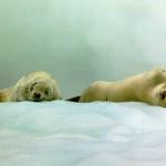 Image of harp seals