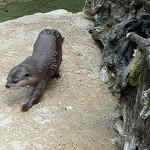 Image of a sea otter