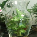 Plant that lives underwater with a friendly Betta Fish for company.