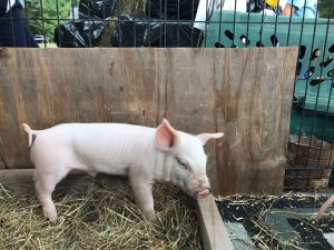 Image of a cute pig at the Dover Days Festival.